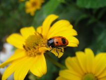 Yellow Flower with Beetle Stock Photo