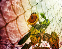 Yellow flower behind the fence. Stock Photo