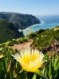 Yellow flower. Behind yellow flower an ocean view in Cabo da Roca, Portugal stock image