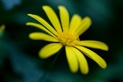 Yellow flower on the black background.  Stock Photos