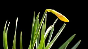 Yellow flower, black background stock footage