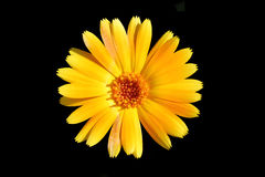 Yellow flower. On a black background isolated Royalty Free Stock Photography