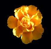 Yellow flower on black background Stock Photos