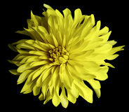 Yellow flower on a black   background isolated  with clipping path. Closeup. Big shaggy  flower Stock Photography