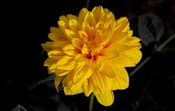 Yellow flower with black background Royalty Free Stock Photos