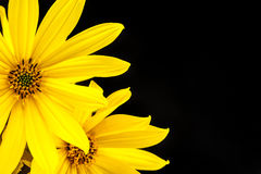Yellow flower on black background Stock Photography