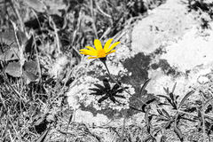 Yellow flower black & white background Royalty Free Stock Photos