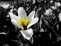 Yellow flower in black and white. Closeup of a yellow flower in a field of black and white flowers, lilys and tulips Royalty Free Stock Photo
