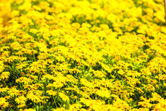A yellow flower blanket Royalty Free Stock Image