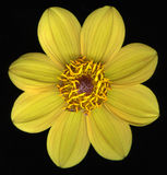 Yellow flower in bloom Stock Images