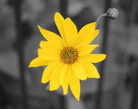 Yellow flower in bloom from close-up. Black-and-white. Colorized.  stock image