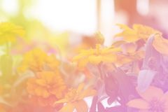 Yellow flower Bloom and floral soft blur background stock image