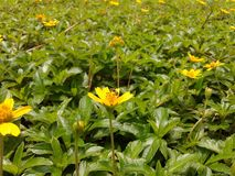 Yellow flower bloom in garden so beautiful. Nature to make. Yellow flower blossom and green leaf background Stock Image