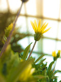 Yellow flower blooming in glasshouse Stock Images
