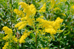 Yellow flower. Blooming goldenrod, Yellow flower in the sunny day stock photography