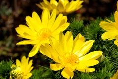 Yellow flower blooming. Outdoor view of Euryops pectinatus shrub, also called grey-leaved euryops, in the family Asteraceae. Daisy. Like composite flowers with royalty free stock images