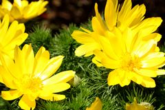 Yellow flower blooming. Outdoor view of Euryops pectinatus shrub, also called grey-leaved euryops, in the family Asteraceae. Daisy. Like composite flowers with stock photos
