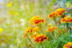 Yellow flower blooming in soft and warm light. Royalty Free Stock Photography