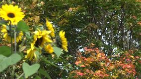 Yellow flower blooms and colorful maple tree leaves. 4K stock footage