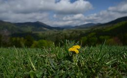 Yellow flower blooms high up in the mountains on a green meadow on a background of sky with clouds royalty free stock photo