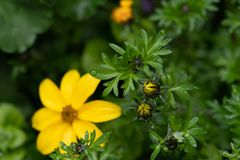 Yellow flower blooms in the rain. Yellow flower in the rain with new blooms closed in the foreground stock image