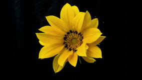 Yellow flower blooms timelapse stock video footage