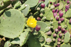 Yellow flower of bloomy cactus Stock Photography