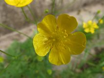 Yellow flower blossom close up photo. Spring colors. Macro photography royalty free stock photography