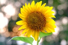 Close up a single sunflower blossom in a garden with warm light bokeh background stock images