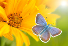 Yellow flower and blue butterfly Royalty Free Stock Images