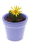 Yellow Flower in Blue Pot Royalty Free Stock Photo