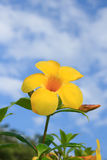 Allamanda , Golden Trumpet on blue sky. In the morning Stock Photography