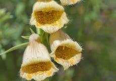 Yellow flower bluebell closeup Stock Photo