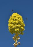 Yellow flower in blur blue sky background, december blossom in Malta, flower, yellow blossom flower. Malta flora. Bosom flower Stock Image