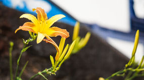Yellow flower. Blurred - Minas Gerais Brazil Royalty Free Stock Images