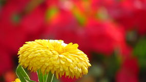 Yellow Flower bokeh. Beautiful flower bokeh red background single yellow majestic Royalty Free Stock Photography