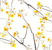 Yellow flower branch with white background Royalty Free Stock Image