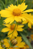 Yellow flower with bud royalty free stock images