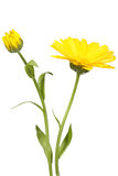 Yellow flower and bud of calendula. On green stalk. Isolated on white background. Close-up. Studio photography Stock Photo
