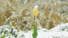 Yellow flower bud is covered with snow. Yellow flower bud covered with snow during an unexpected spring snowfall stock video footage
