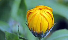 Yellow Flower Bud during Day Time Stock Photos
