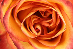 Yellow flower bud rose. Close-up Stock Images