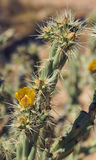 Yellow flower and buds of the buckhorn cholla Royalty Free Stock Photo