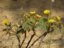 A yellow flower. An yellow flower in Buenopolis - dry land - with leaves, branches - alone stock images