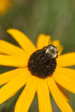 Yellow flower with bumble bee 1. Yellow flower with a bumble bee 1 Royalty Free Stock Image