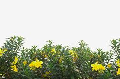Yellow flower bush with green leaves isolated on white. Floral background Stock Photography