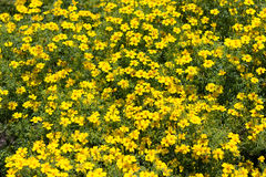 Yellow flower bush - many yellow spring flowers Royalty Free Stock Image