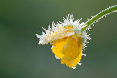 Yellow flower of a buttercup is covered with hoarfrost Royalty Free Stock Photography