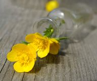 Yellow flower buttercup glass bottle wood background macro blossom petal. Summer sunlight royalty free stock images