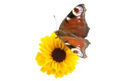 Yellow flower and butterfly. Isolated on a white background Stock Photography